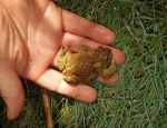 1st returning Natterjack Toad to Bettisfield 2016 copyright Mandy Cartwright ARC and Tim Johnson FCC