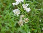 Tubular Water-dropwort flower copyright Pete Case