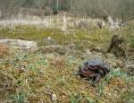 Common Toads copyright Naomi Ewald