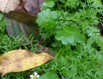 Three-lobed Water-crowfoot found at Hothfield Common copyright Francesca Dunn