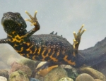 Great Crested Newt copyright David Orchard