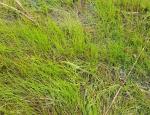 Pillwort lawn at Llangloffan Fen copyright Pascale Nicolet