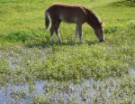 Pony grazing at a special New Forest pond copyright Ian Ralphs