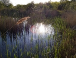One of the ponds at Orton Pits copyright Naomi Ewald