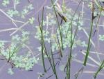 Three-lobed Water-crowfoot at Predannack copyright Freshwater Habitats Trust