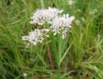 Tubular Water-dropwort copyright Anne Heathcote