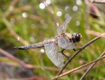 Four-spotted Chaser, one of the dragonflies found at Strensall Common copyright Anne Heathcote
