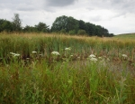 One of the ponds with Greater Water-parsnip copyright Anne Heathcote