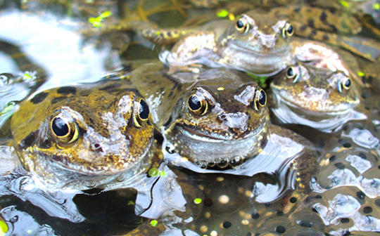 Frog_group_spawn