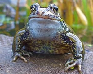 Frog_head2_Julia_Page