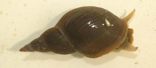 Snails freshwater habitats trustfreshwater habitats trust for Garden pond snails