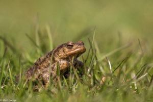 Common Toad - copyright Matt Lodge