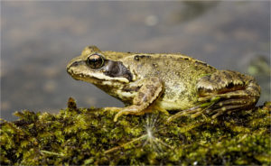 Common frog - copyright Gary Stamp