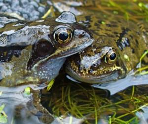 Frog_couple