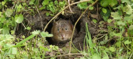 Water_Vole_copyright Jo Cartmell