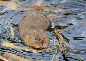 Water Vole swimming - copyright William Richardson