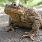 Common toads