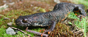 excellent-great_crested_newt_on_land_en