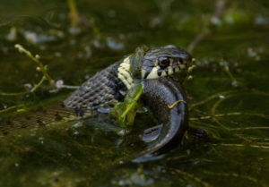 grass-snake-eating-great-crested-newt-by-neil-phillips