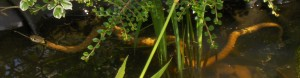 grass snake swimming cropped copyright Liz Fever
