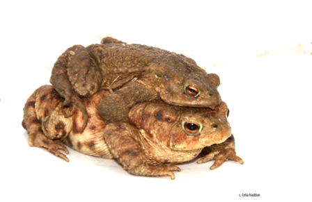 toads mating_1