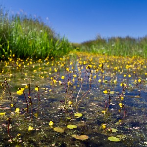Bladderwort_photo_square