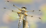 150712 Four-spot chaser Libellula quadrimaculata Strensall Common
