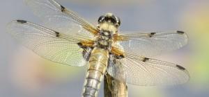 150712 Four-spot chaser Libellula quadrimaculata Strensall Common