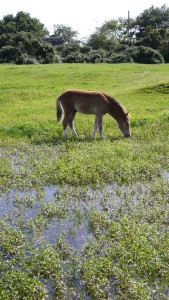 Low intensity pony grazing is a key factor in the maintenance of this pond and its special residents (c) Ian Ralphs