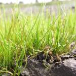 Pillwort - Pillularia Globulifera (click for survey methods)