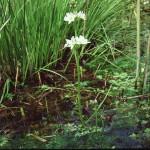 Water Violet - Hottonia palustris