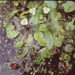 Frogbit - Hydrocharis marsus-ranae