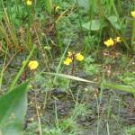 Bladderwort - Utricularia (TVERC)