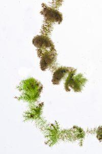 Bearded Stonewort (c) Sarah Lambert