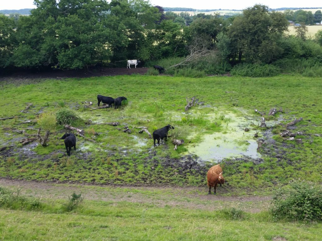 cattle-in-the-pond-3-cock-marsh-2016