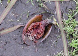Dead Tadpole Shrimp Flagship Pond Photo Competition