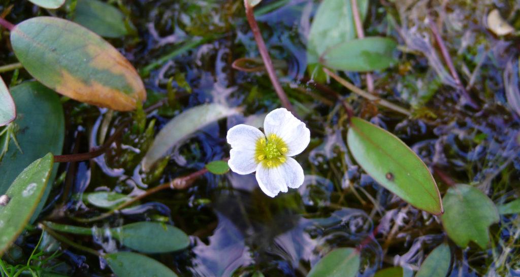 Floating Water-plantain _ Ian Ralphs