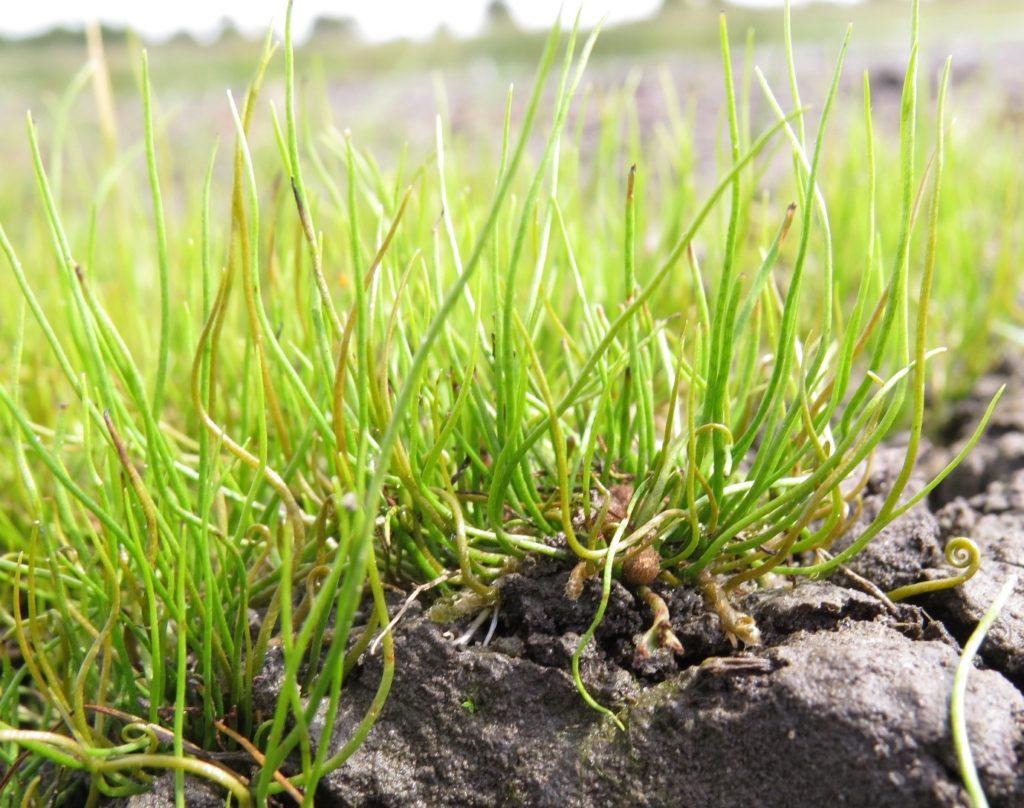 pillwort anne heathcote