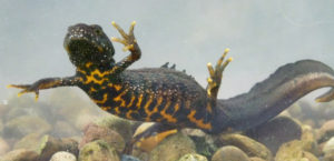 Great Crested Newt (c) David Orchard