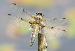 Many dragonflies and damseflies thrive in garden ponds (c) Anne Heathcote