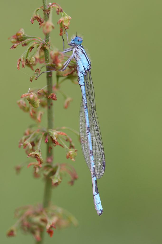 Common Blue Damselfly (Christophe Brochard