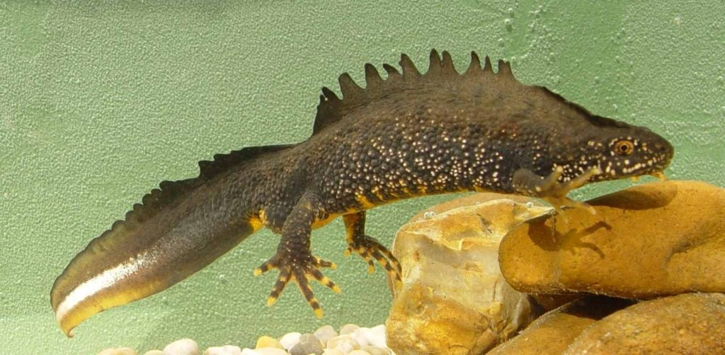 A male Great Crested Newt (c) Jim Foster, Natural England