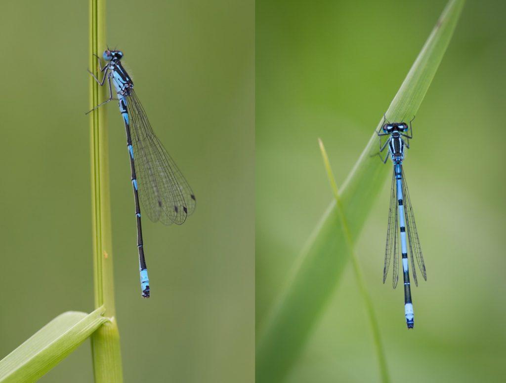 Left: Variable Damselfly (c) Christophe Brochard. Right: Azure Damselfly (c) Alex Berryman