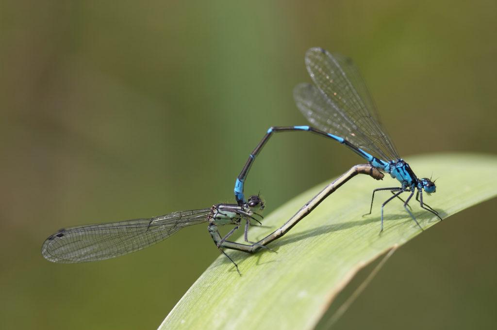 A mating pair of Variable Damselflies (c) Christophe Brochard